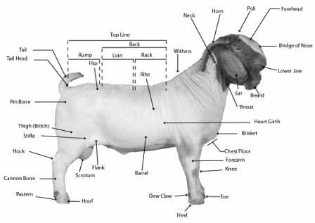 the anatomy of a boer