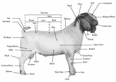 Goat Anatomy | The Kebun