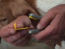 Load the proper number into the eartag applicator.