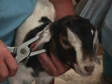Eartagging causes about as much pain as getting your own ears pierced. Goat kids will want the comfort of their dam or a bottle of milk after the eartagging is finished.