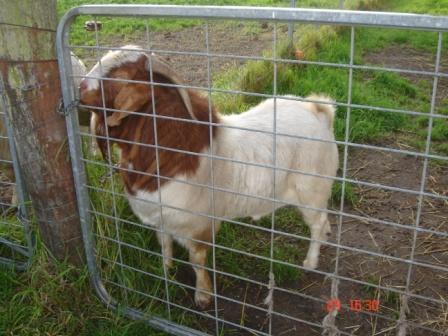 Boer Goat   The Kebun