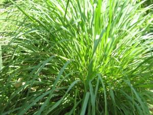Cymbopogon nardus (L.)