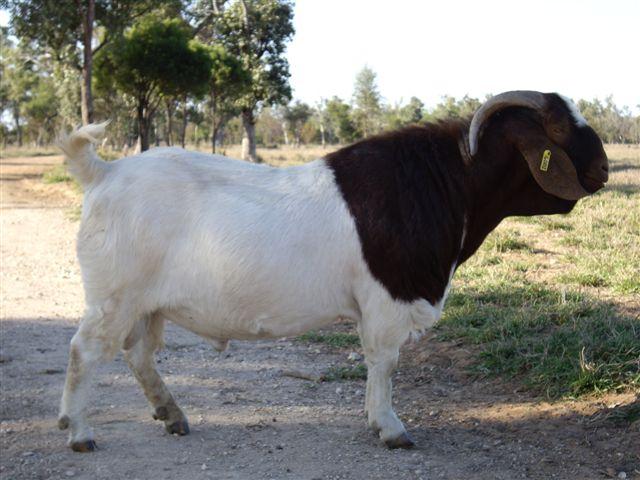 Jamnapari goat - JungleKey.in Image #50