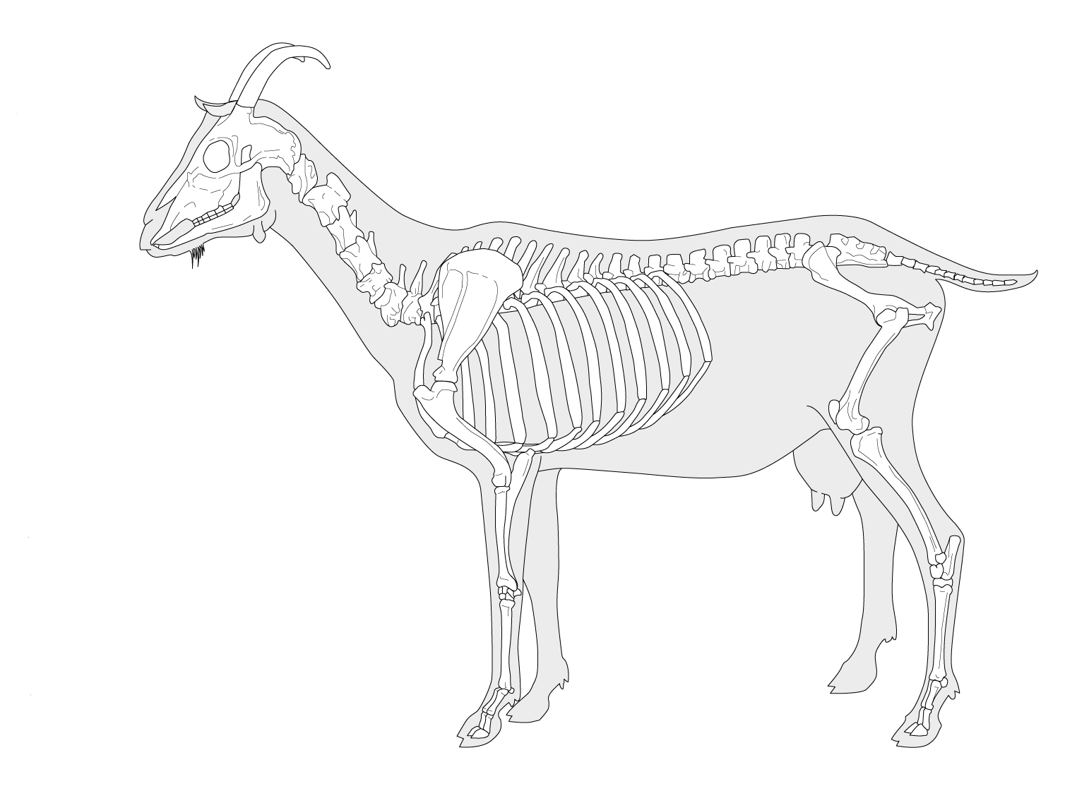 GOAT SKELETON | The Kebun