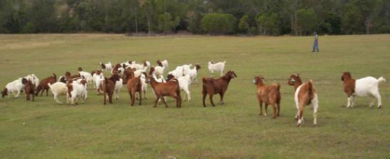 herd of goats the kebun