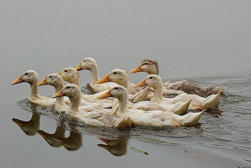 duckflock