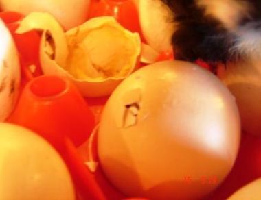 hatching-egg