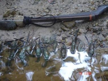 Freshwater Prawns Hunting
